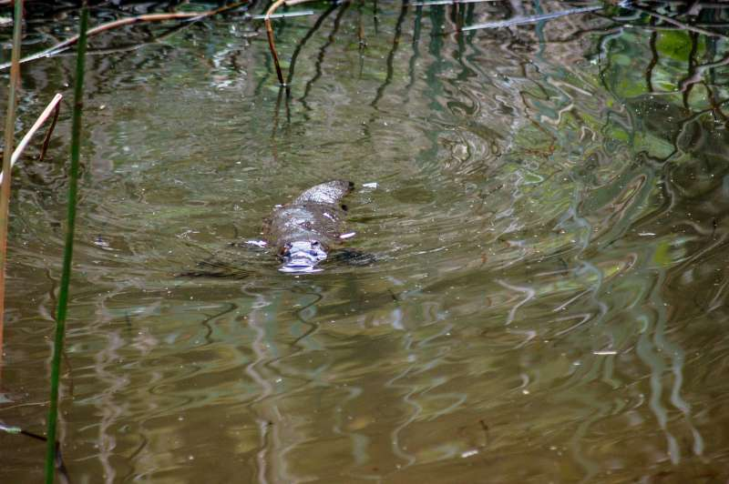 Bringing the platypus back to the River Torrens