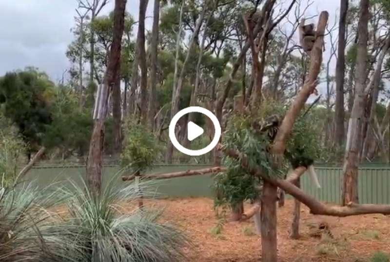 Cleland Wildlife park - koalas from Kangaroo Island