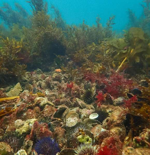 New shellfish reef for South Australia